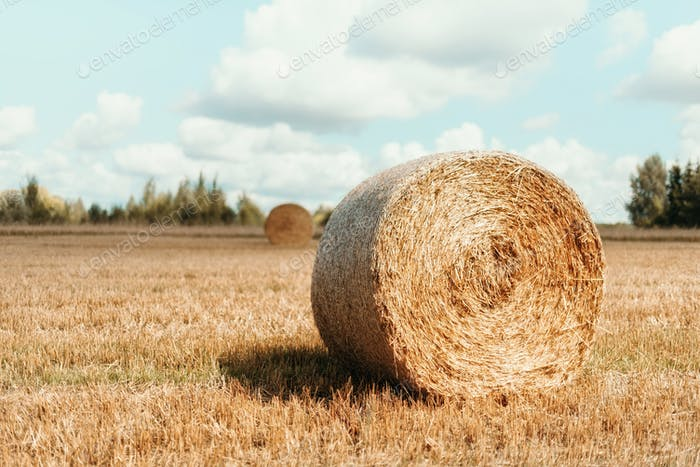 Harvested field with straw bales. Agriculture background with copy space. Summer and autumn harvest