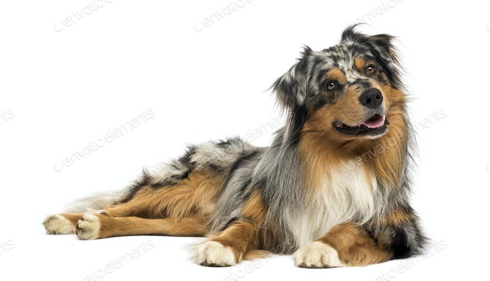 Australian shepherd blue merle, lying, panting, looking away, 4 years old, isolated on white