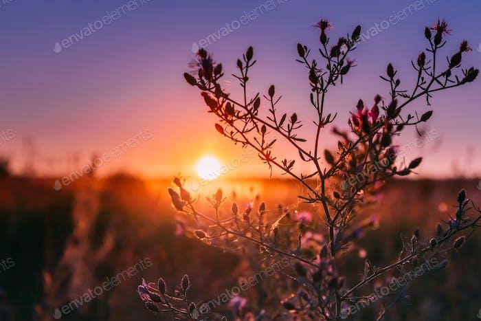 Autumn Wild Flowers In Sunset Sunrise Sunlight.