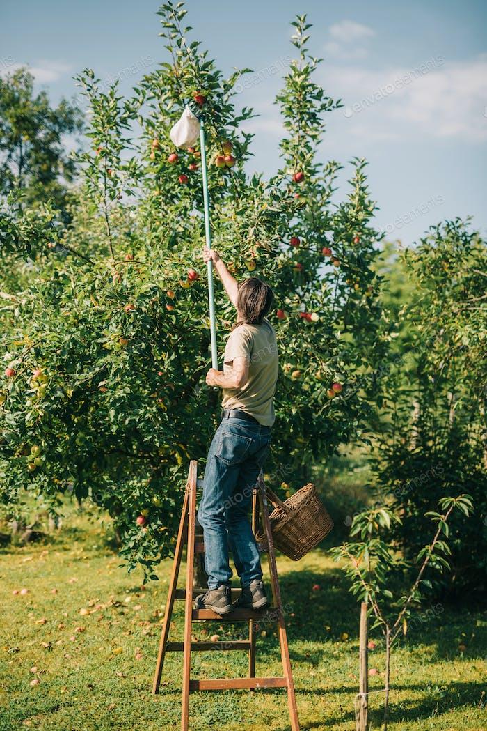 Mann pflücken Äpfel