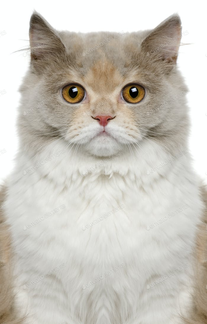 British longhair cat, 8 months old, in front of white background