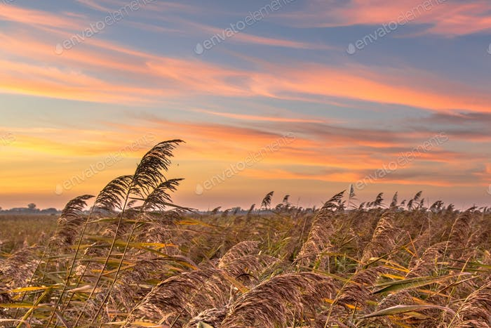Reedland at sunset