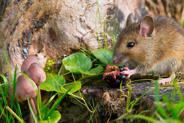 autemn scene mouse eating raspberry