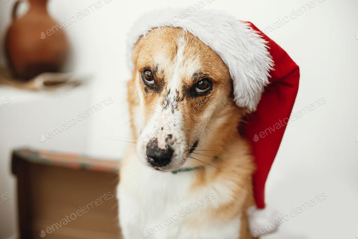 Cute dog in santa hat with adorable eyes and funny emotions