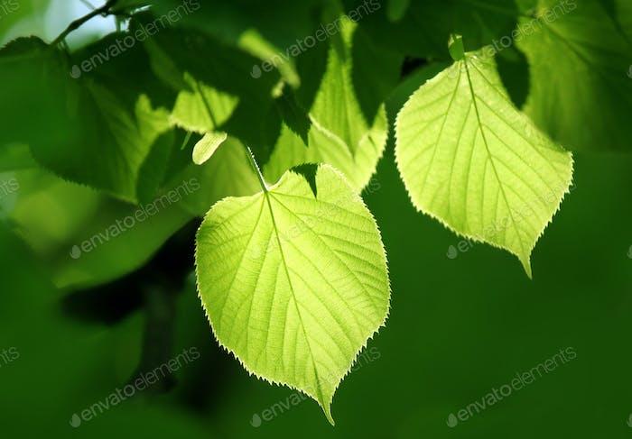 grünes Laub leuchtet im Sonnenlicht