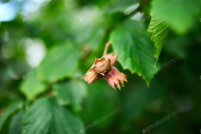 Hazelnuts are growing on the tree or bush, outdoor, autumn harvest