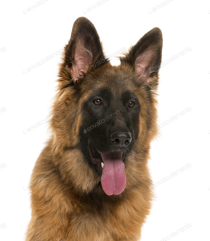 Close-up German Shepherd in front of a white background