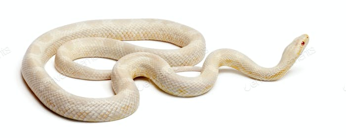 Snow Corn Snake or Red Rat Snake, Pantherophis guttatus, in front of white background