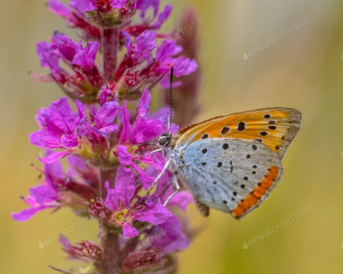 Large copper butterfly drinking nectar