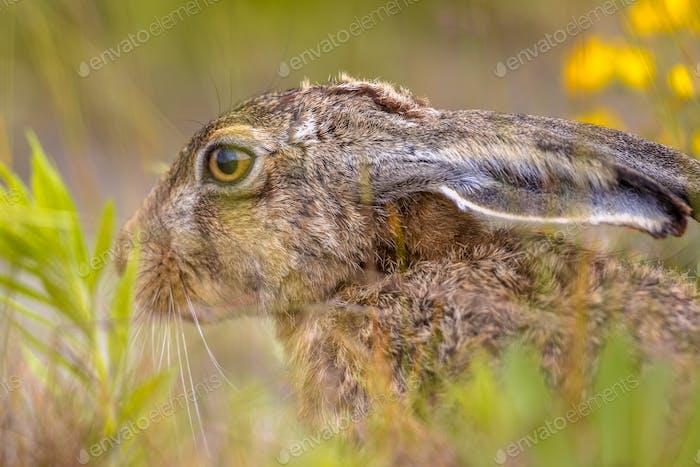 European Hare hiding in vegetation