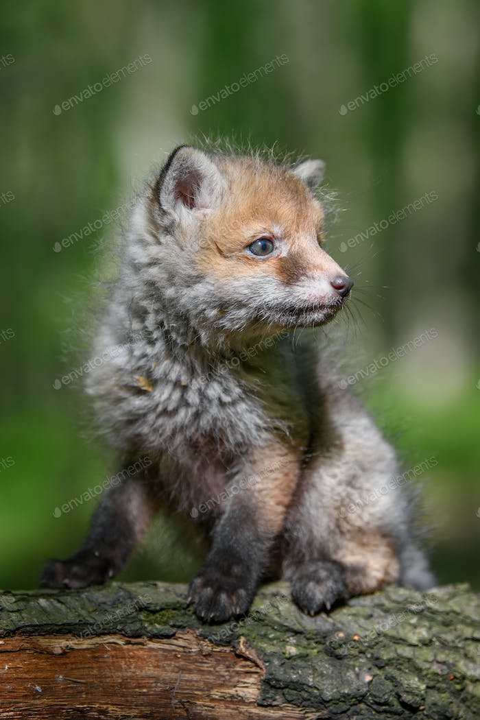 Red fox, vulpes vulpes, small young cub in forest on branch