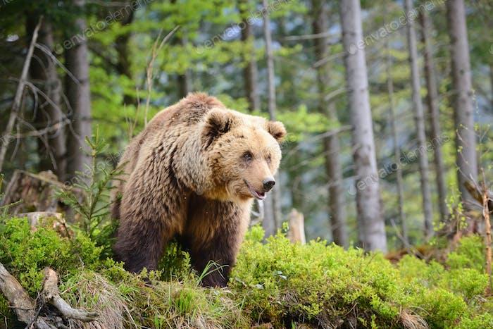 European brown bear in a forest landscape at summer. Big brown b