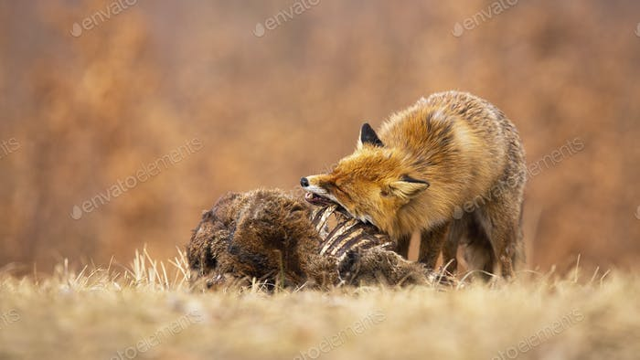 Hungry red fox eating on meadow in autumn nature