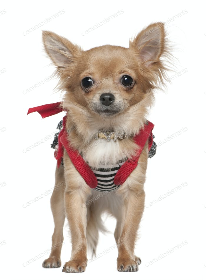 Chihuahua dressed up, 1 year old, standing in front of white background