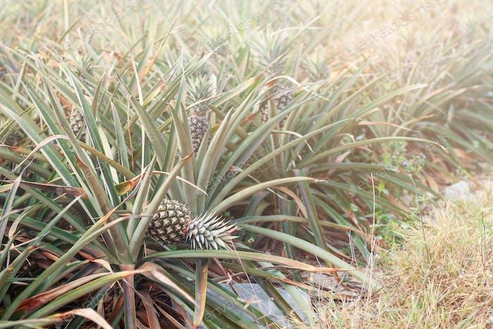 Pineapple fell on plots