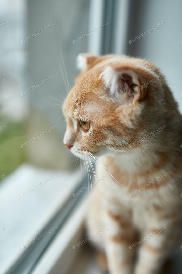 Young British Shorthair striped red cat sit on a windowsill