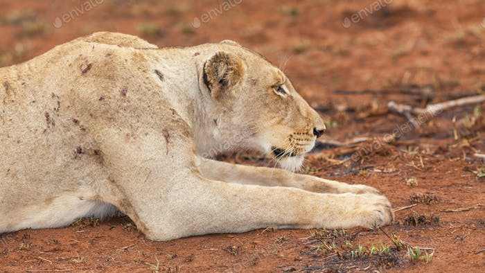 Portrait of a Battle-Scarred Lioness