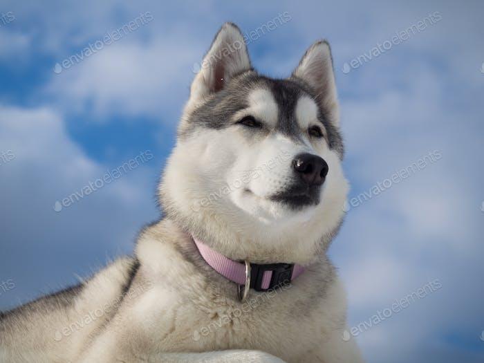 Porträt eines schönen Husky Hund