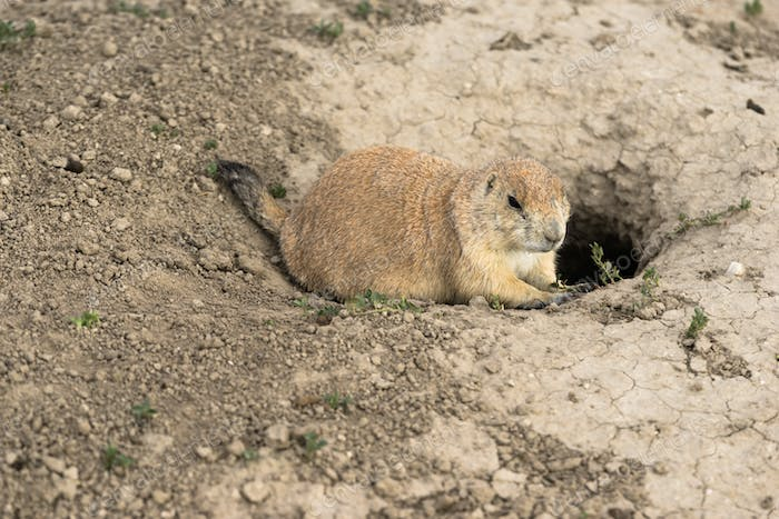 Prarie Dog Stand Sentry Underground Home Entrance