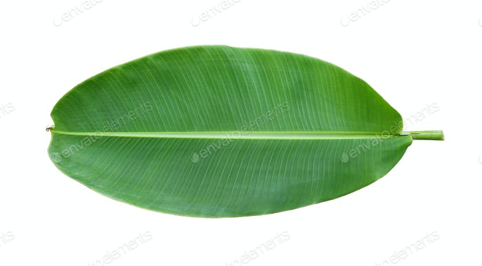 Fresh whole banana leaf