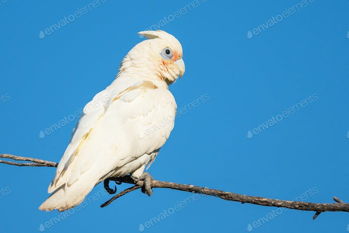 White Corella on Perch
