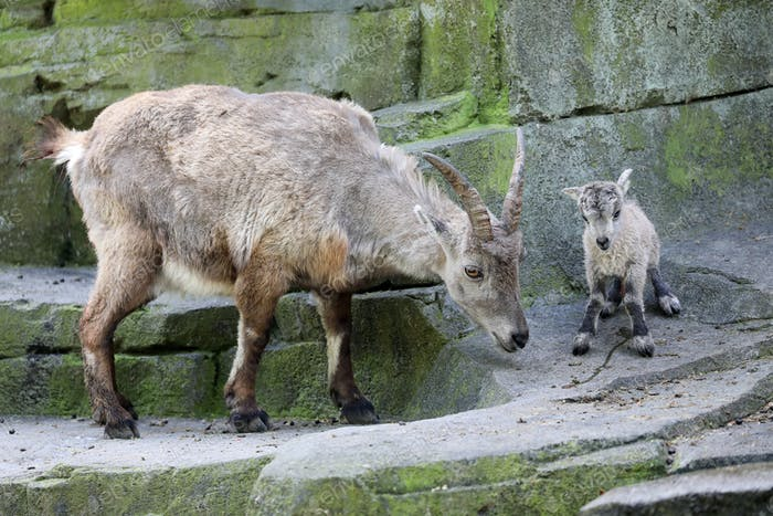 Alpine ibex mother with newborn