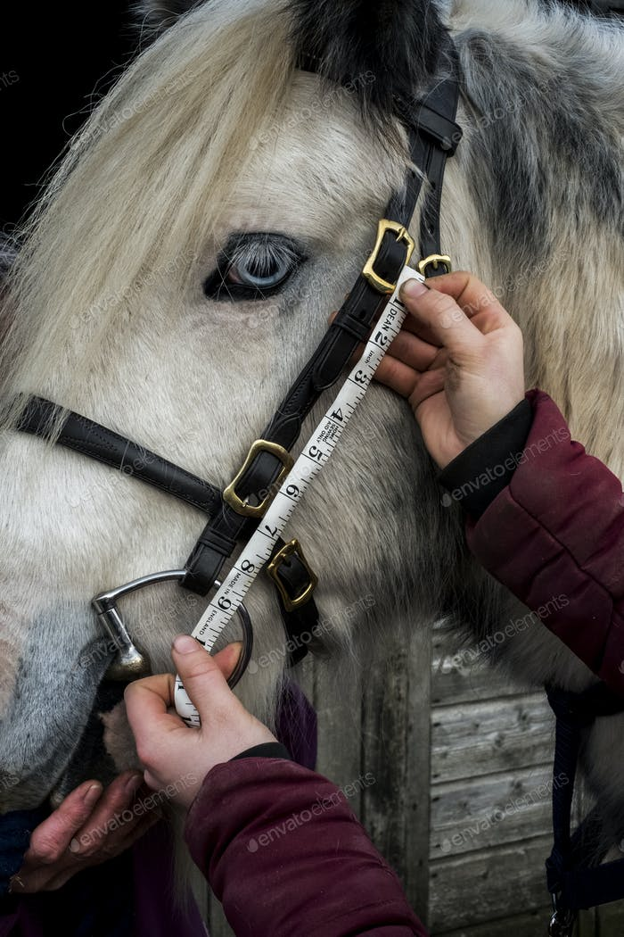 Close up of person measuring length of bridle cheek piece on white Cob horse.