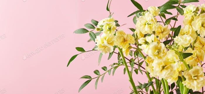 Ramo de matthiola amarilla con ramas de hojas verdes sobre fondo rosa
