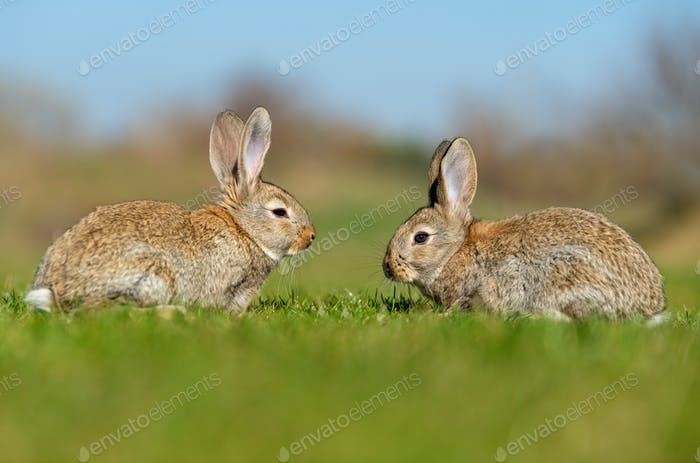Rabbit hare while in grass