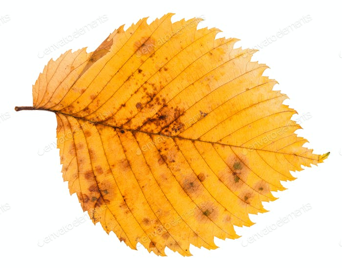 decayed autumn leaf of elm tree isolated