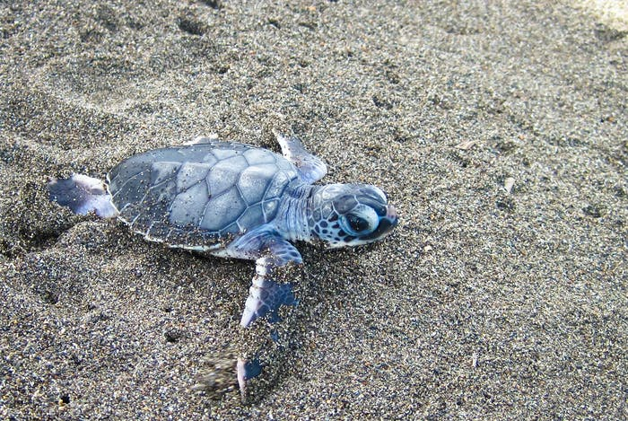 Baby Green Sea Turtle on the Sand in Costa Rica