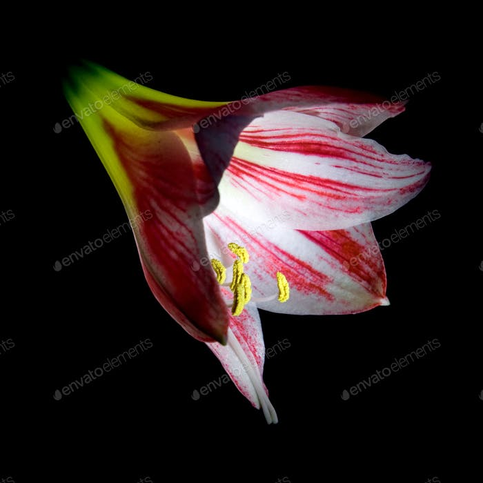Red amaryllis flower.
