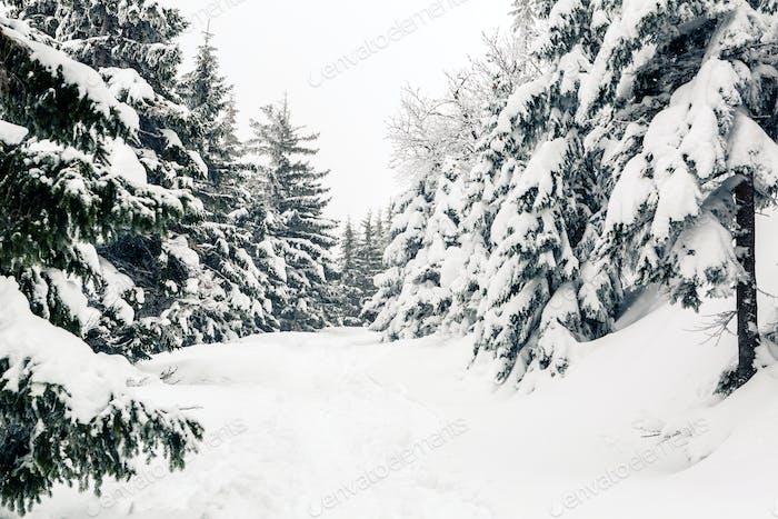 Winter forest, white trees inspiring landscape