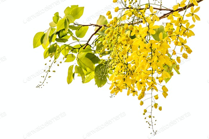 Golden shower(Cassia fistula)