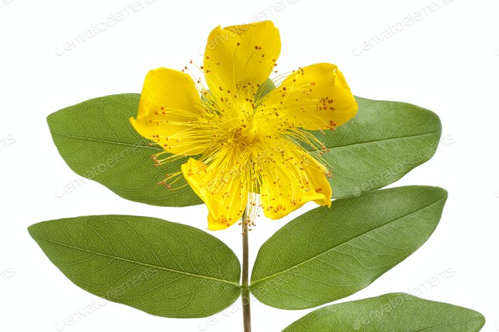 St John's wort flower and leaves