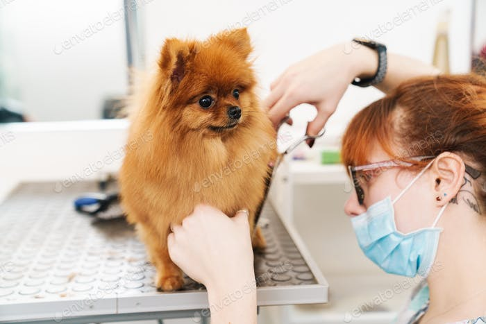 Image of female pet hairdresser grooming pomeranian spitz in dog salon
