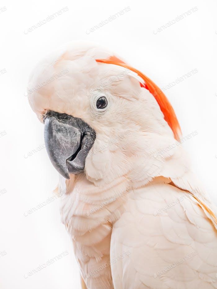 Portrait of cockatoo