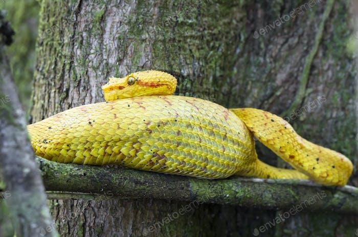 Wimpern Viper in Costa Rica