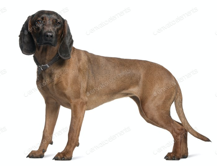 Bavarian Mountain Hound, 3 years old, standing in front of white background