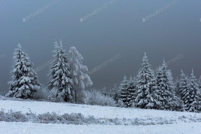 Winter fir tree landscape