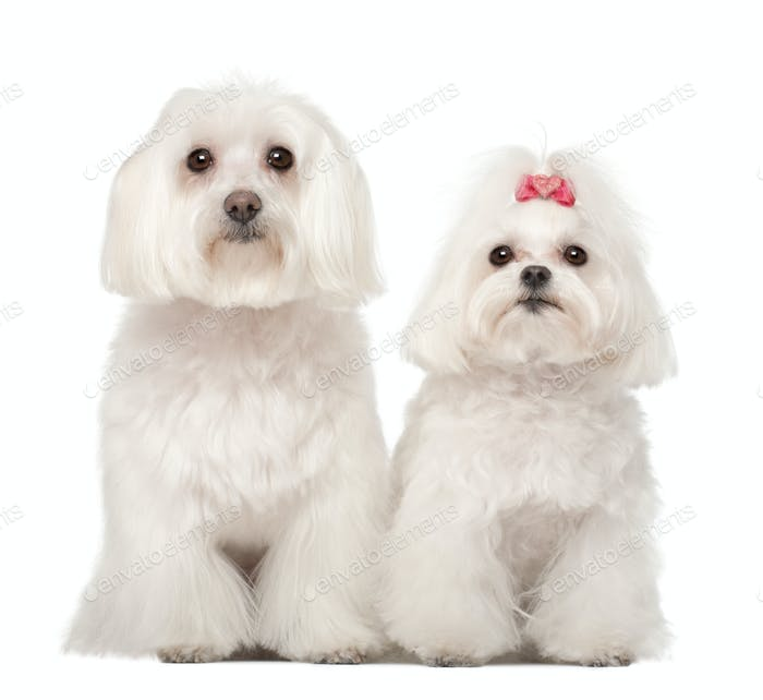 Two Maltese, 4 and 8 years old, standing against white background