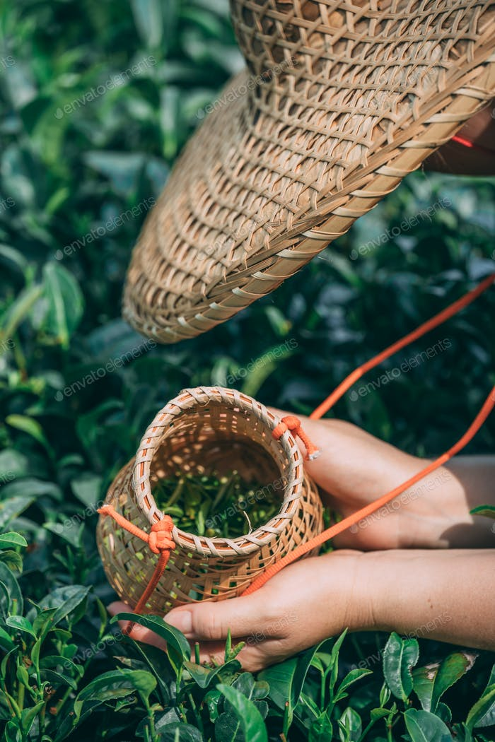 Vertical shot of a female collecting tea leaves