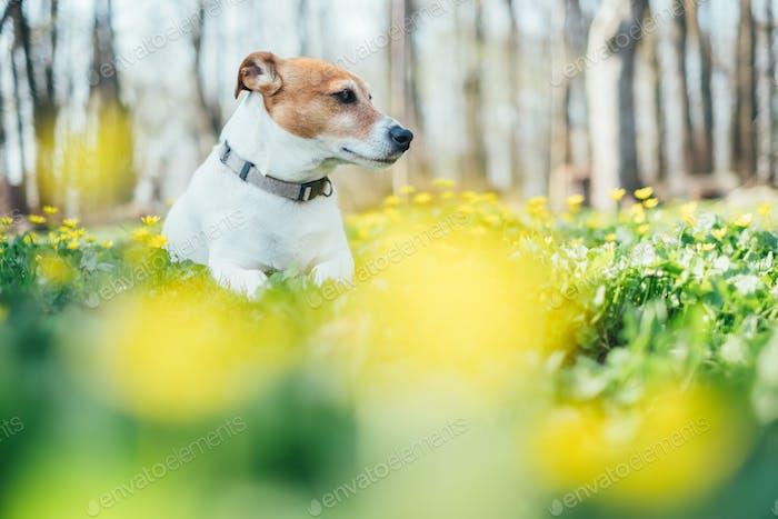 Jack russel terrier on flowers meadow