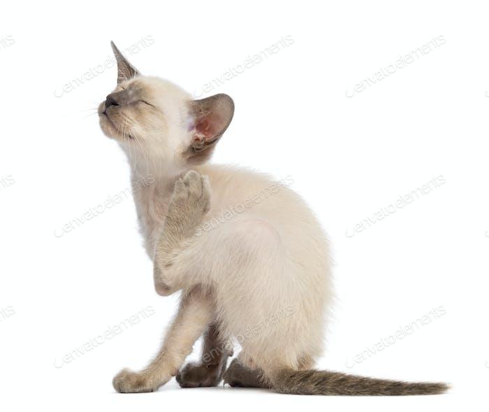 Oriental Shorthair kitten, 9 weeks old, scratching against white background