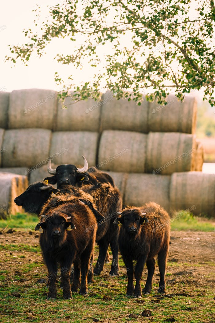 Group of a big buffalo