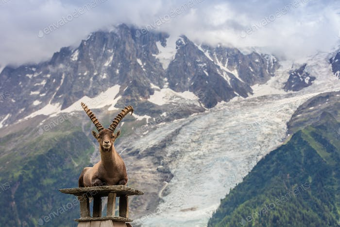 Ibex, Range of Mont Blanc. French Alps
