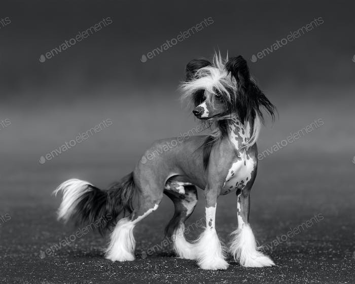Black-and-white photo of dog. Chinese Crested Dog Breed.