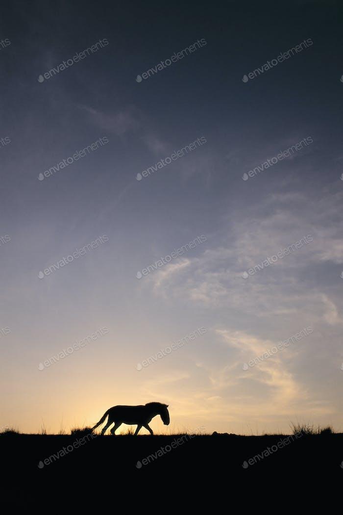 Takhi bei Sonnenuntergang, Equus caballus przewalskii, Hustain Nuruu Nationalpark, Mongolei