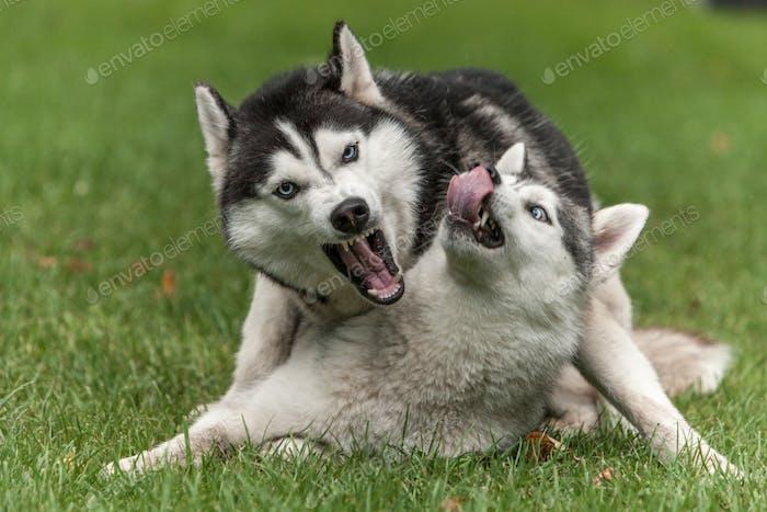 Porträt von zwei Hunden - Sibirischer Husky