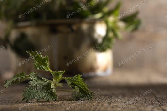 Raw stinging nettles leaf